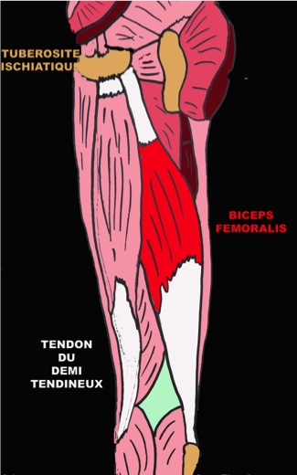 Tendinopathies de la face post rieure du genou anatomie for Exterieur biceps