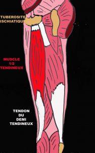 Tendinopathies de la face postérieure du genou : Anatomie et ...
