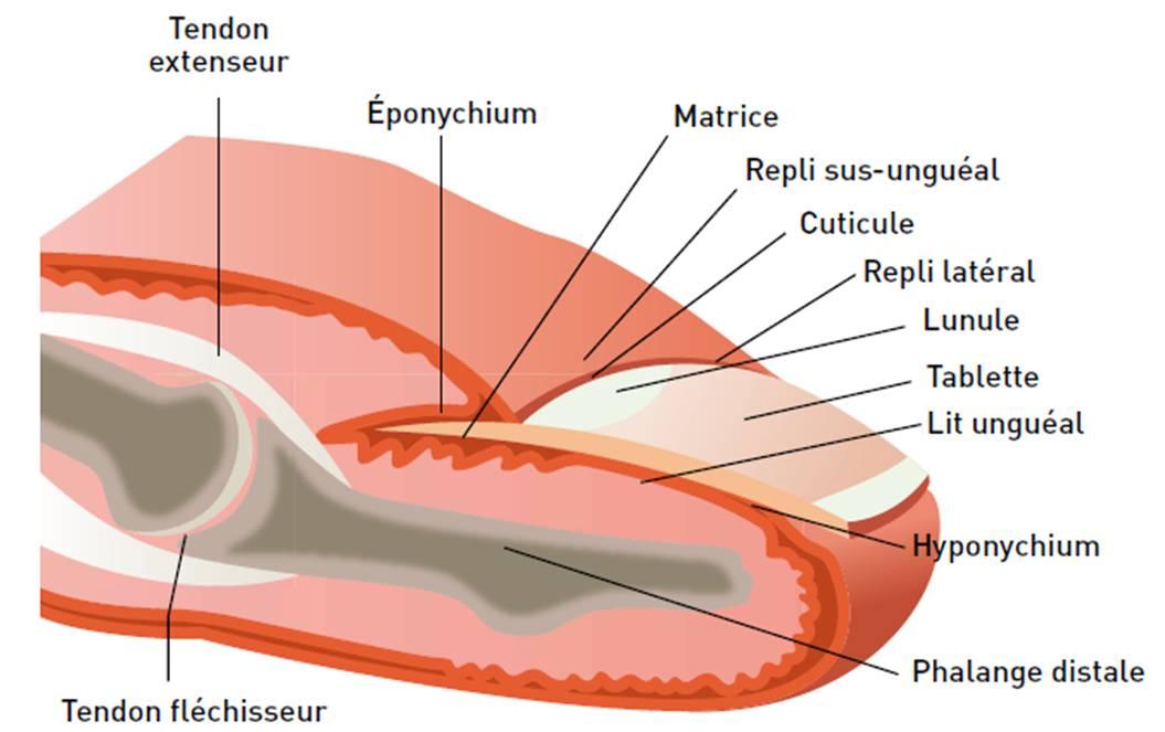 Le microorganisme végétal de longle sur le pied les symptômes de la photo