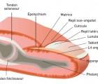 MDS123-Cas clinique-Ongles et sport-Figure 1 - Anatomie de l appareil ungueal.